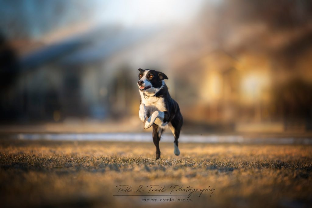 Image is of a black and white dog running toward the camera.